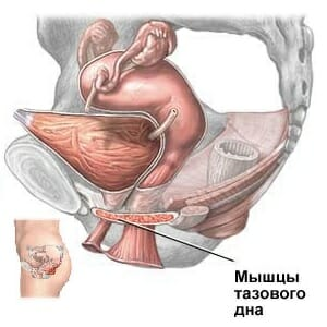 Мышцы тазового дна