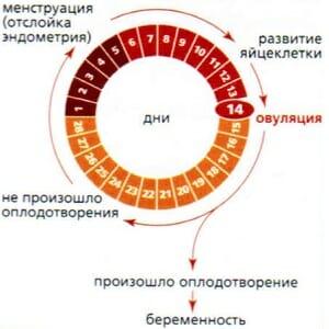 Цикл и овуляция