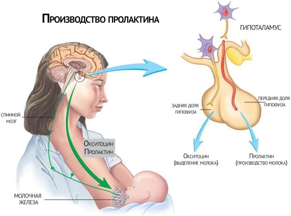 Схема производства пролактина у женщин