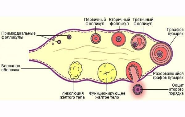 Как созревает яйцеклетка