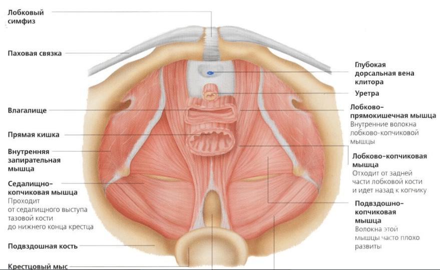 Мышцы таза и влагалища